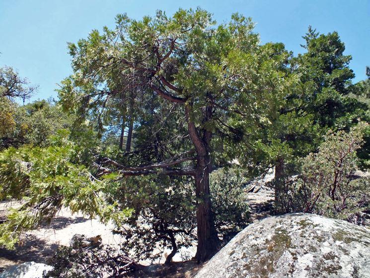 Calocedrus albero