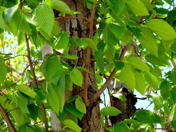 Fronde carpino nero