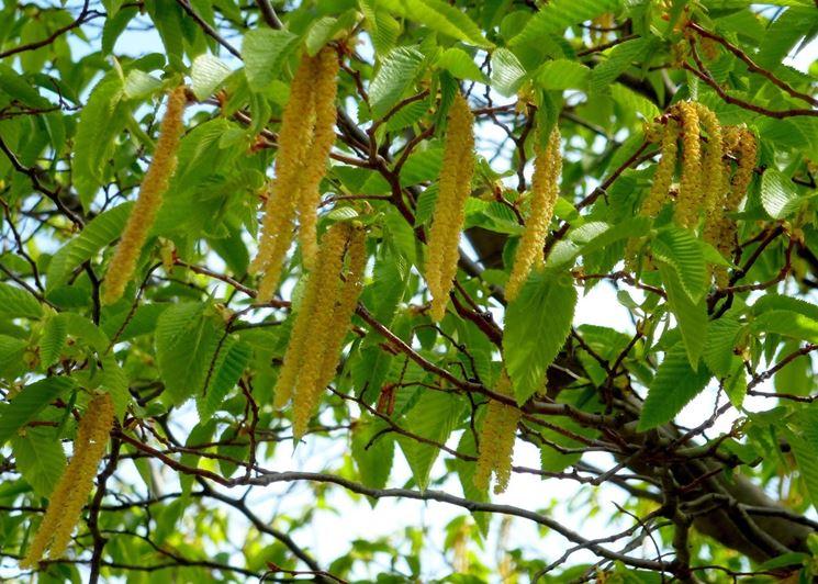 Fiore carpinella