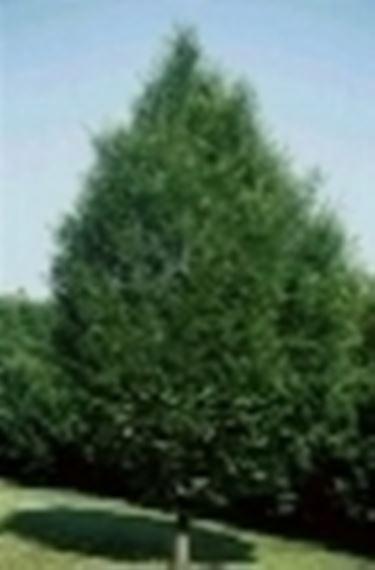 Carpino pianta