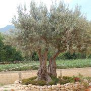 arbusto sempreverde