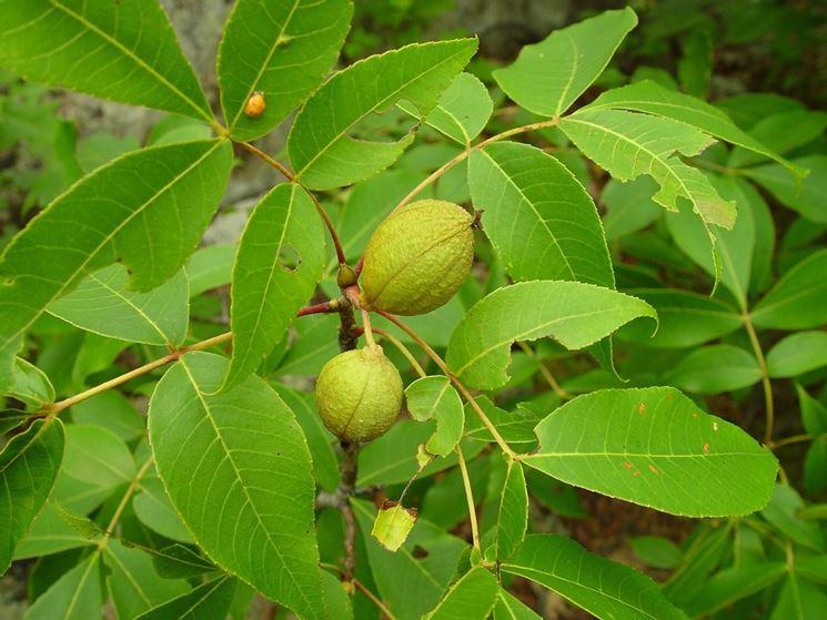 Pecan Albero frutti