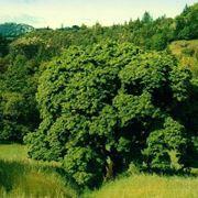 noce albero