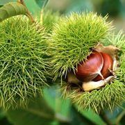 Castagno frutti