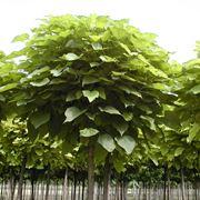 Catalpa bungei - albero