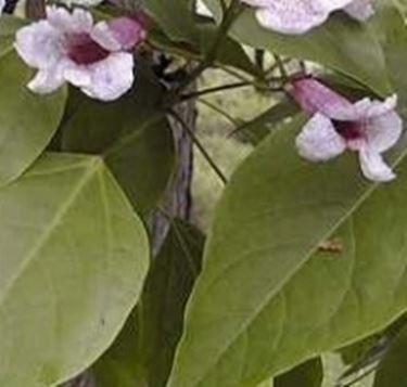 Catalpa bungei - fiori