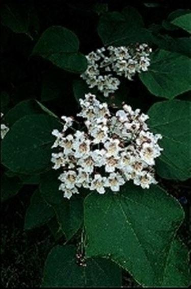 Catalpa fiori