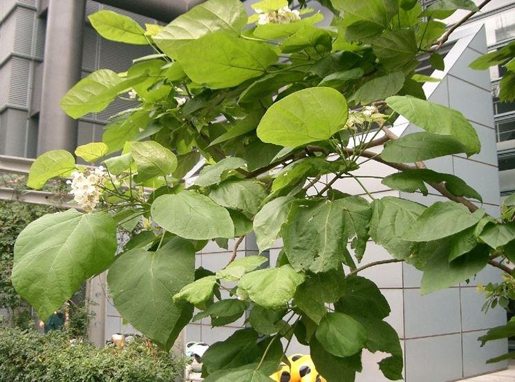 foglie catalpa