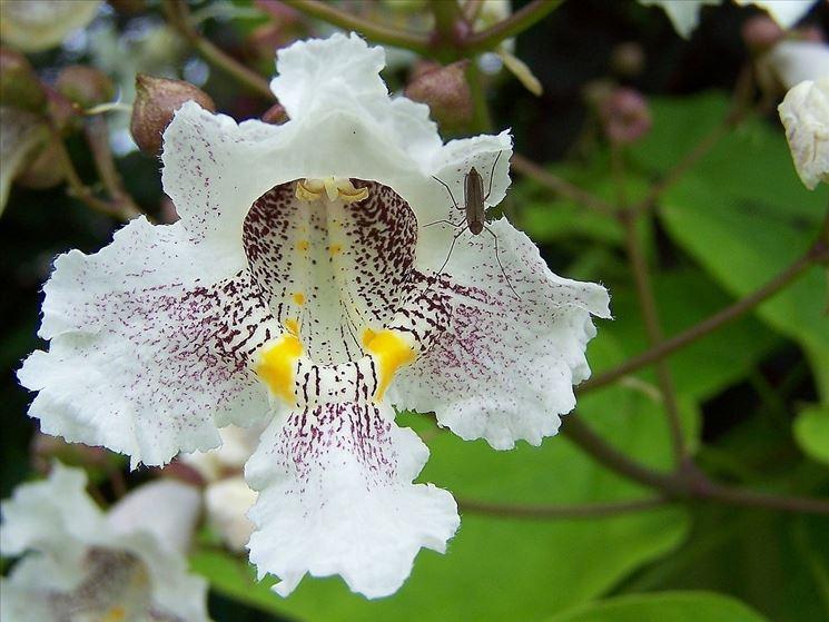 fiore catalpa