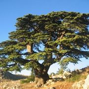 albero del libano