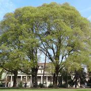 Celtis australis albero