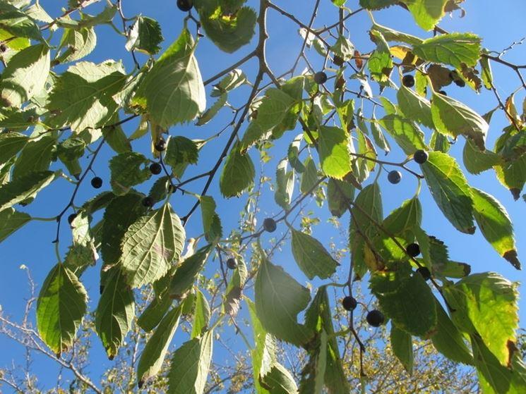 celtis australis foglie