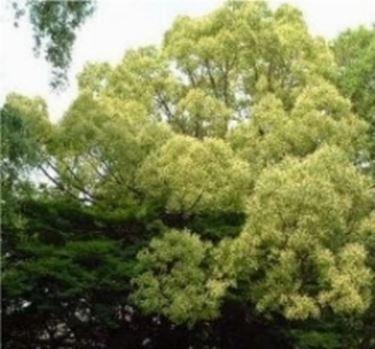 Canfora albero in fiore