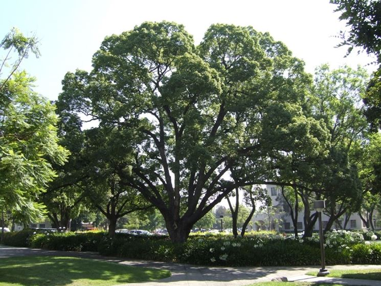 albero di canfora