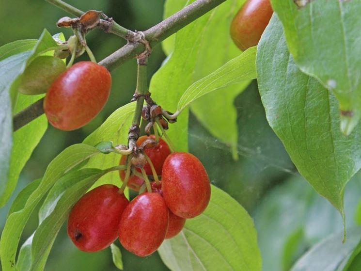 I frutti del corniolo