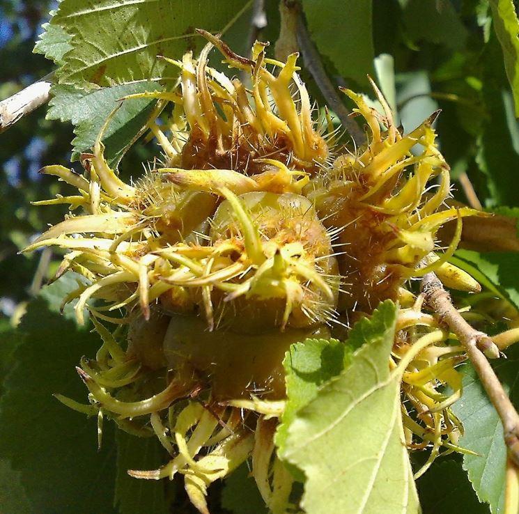 frutto colurno