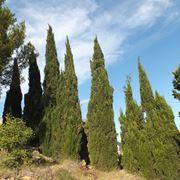 Cipresso alberi