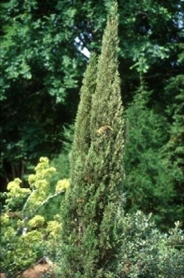 Cipresso albero