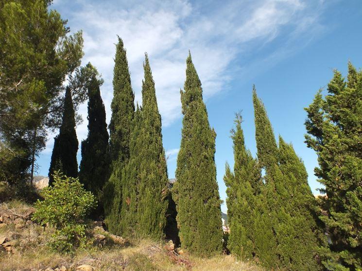 Cipresso cupressus sempervirens cupressus sempervirens for Foto di alberi da colorare