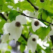 Davidia fiori