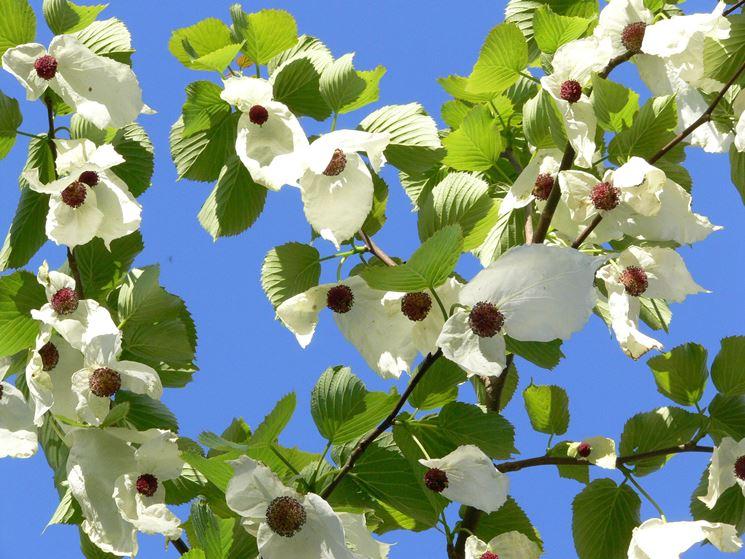 fioritura albero dei fazzoletti