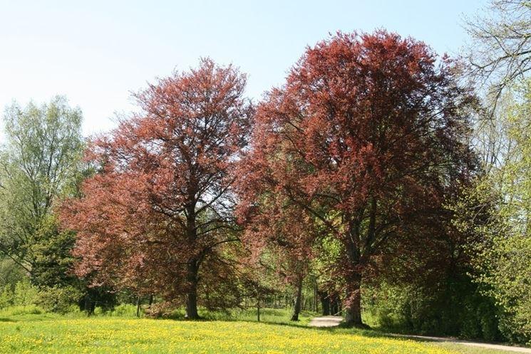 Fagus sylvatica 'Purpurea Latifolia