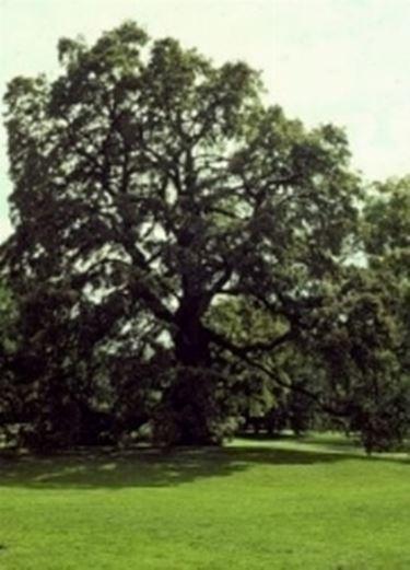 Querce quercia quercus quercus robur alberi for Alberi simili alle querce