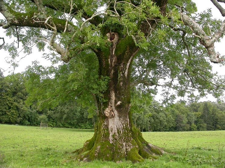 Frassino con tronco massiccio