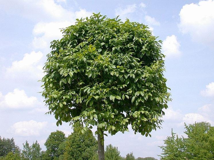 Frassino albero