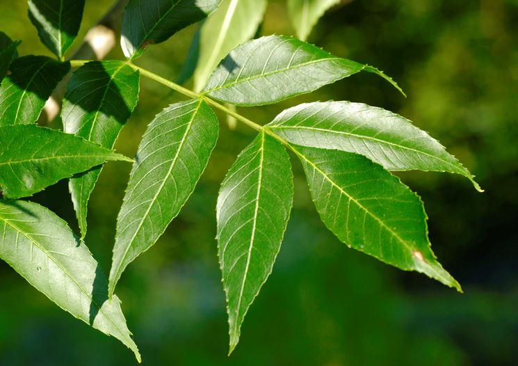 fraxinus excelsior foglie