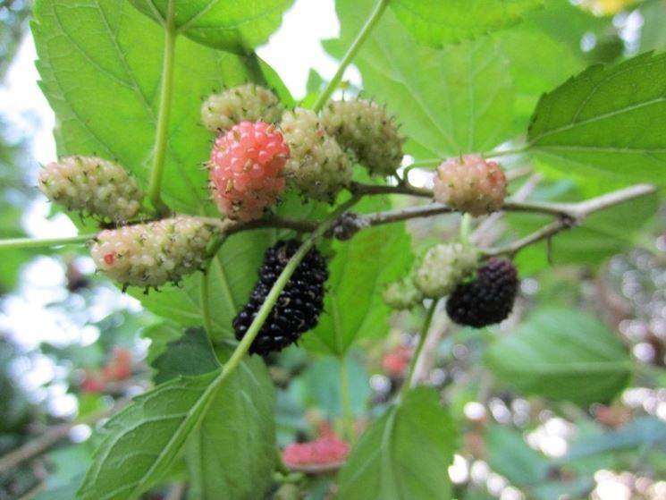 Ramo gelso frutti