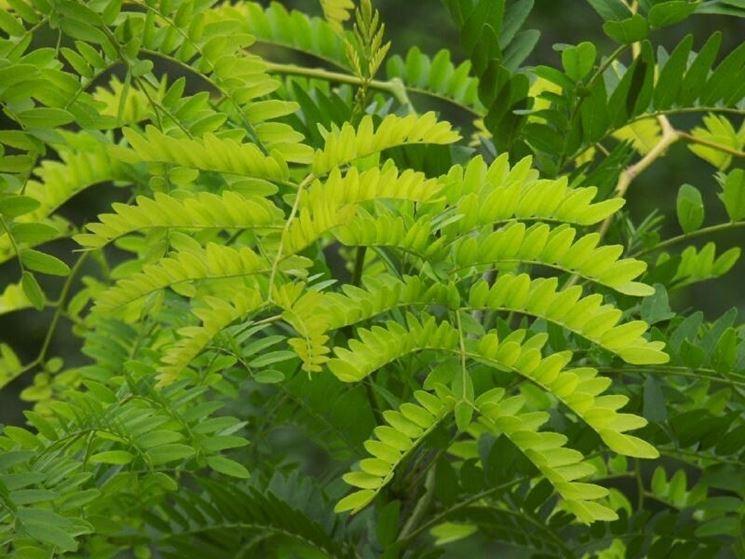 foglie spino di giuda