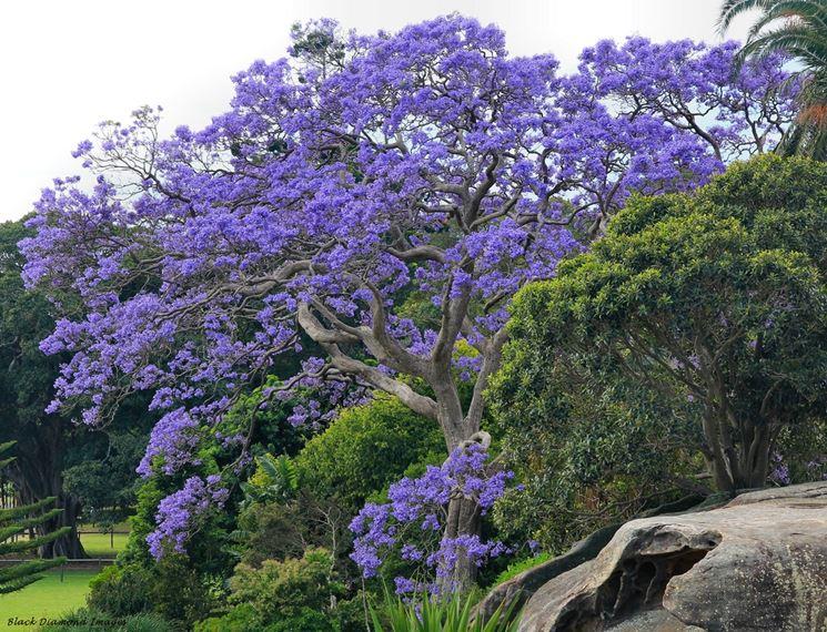 Albero glicine jacaranda mimosifolia jacaranda for Alberi da giardino con fiori