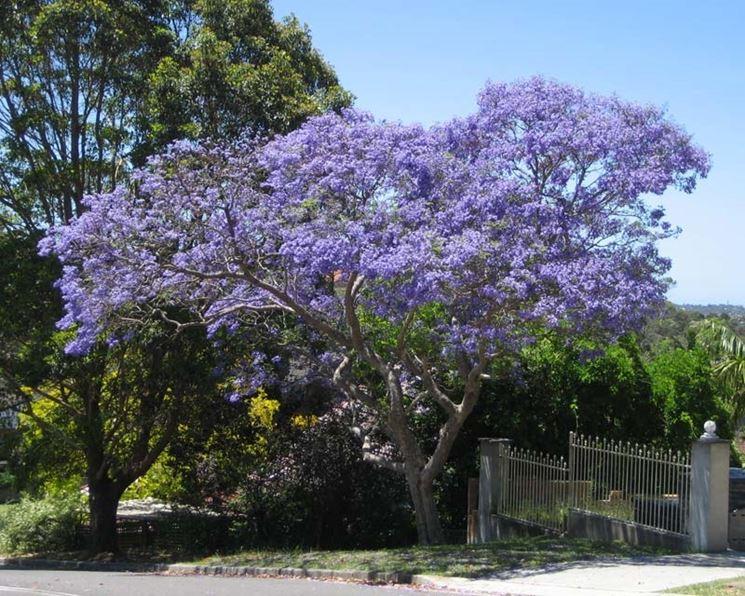 Jacaranda albero