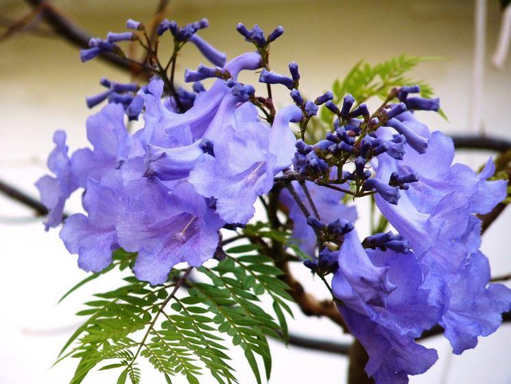 fiori jacaranda