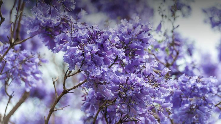jacaranda fiori