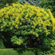 Koelreuteria albero