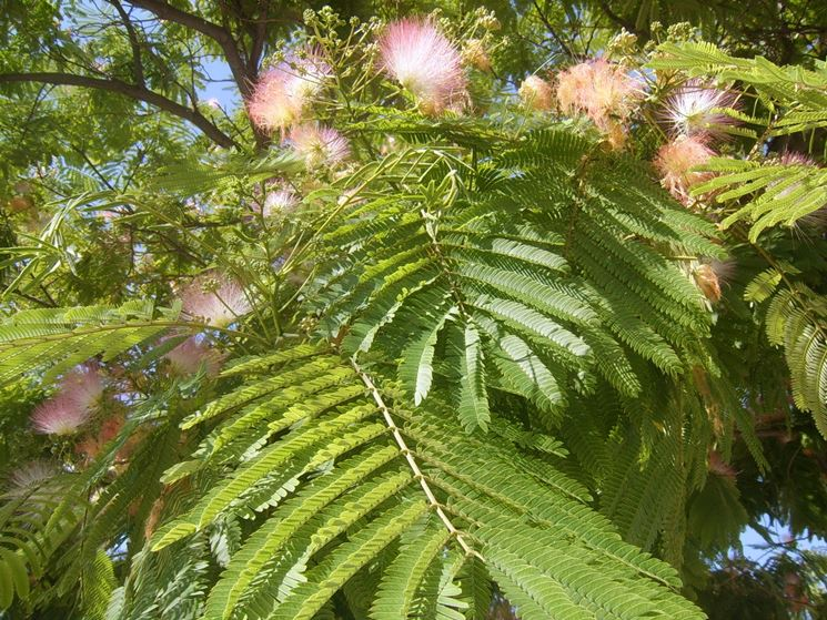 Rami pianta albizia