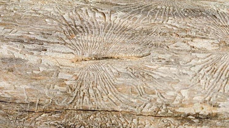 Grafiosi corteccia albero