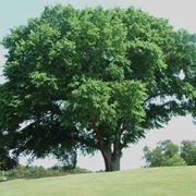 olmo albero