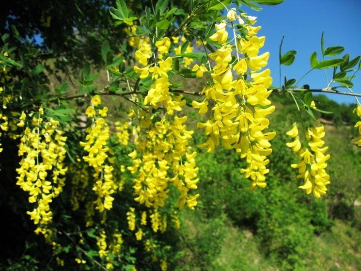 Maggiociondolo laburnum anagyroides alberi for Pianta ornamentale con fiori a grappolo profumatissimi