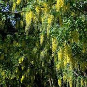 maggiociondolo pianta