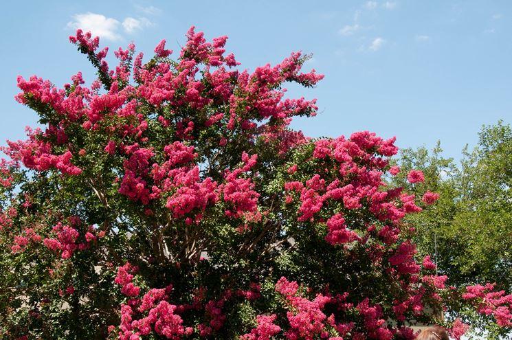 Lagerstroemia indica lagerstroemia indica alberi for Pianta ornamentale con fiori a grappolo profumatissimi