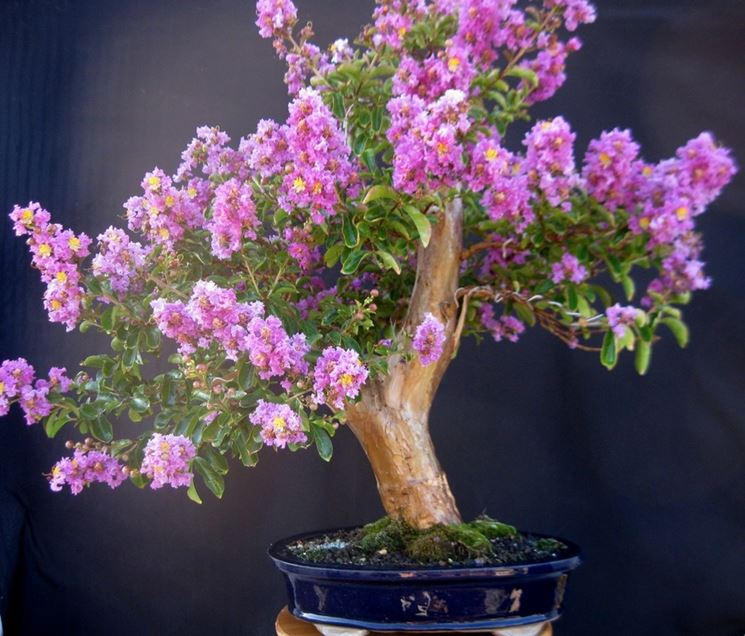 Lagerstroemia bonsai