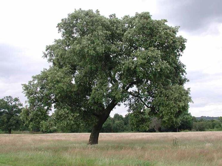 Grande albero di leccio
