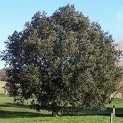 leccio albero