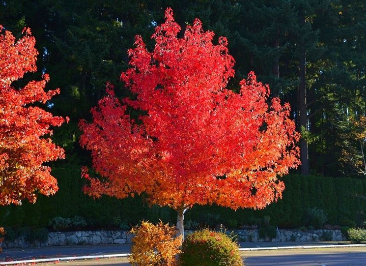 Liquidambar in autunno