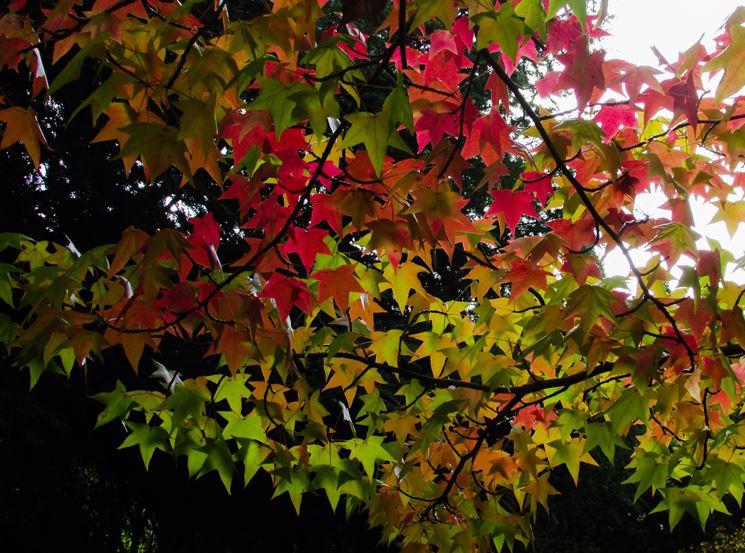 Storace foglie