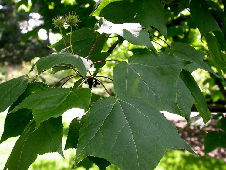 foglie storace in primavera