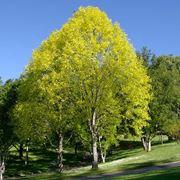 Liriodendron albero